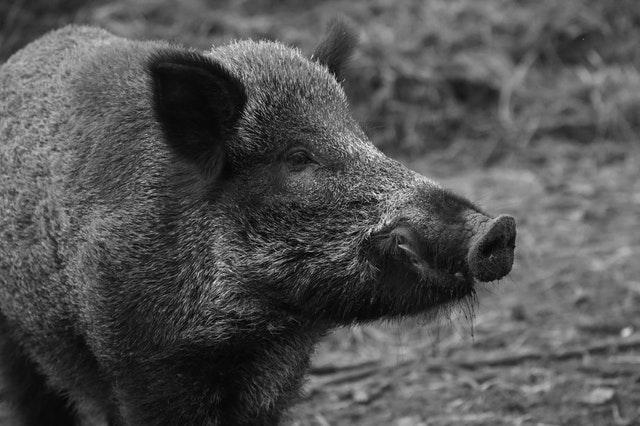 Afrikanische Schweinepest (ASP)