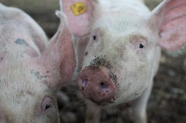 Schweinebrucellose und die erhöhte Gefahr einer Erkrankung bei Tieren in der Freilandhaltung