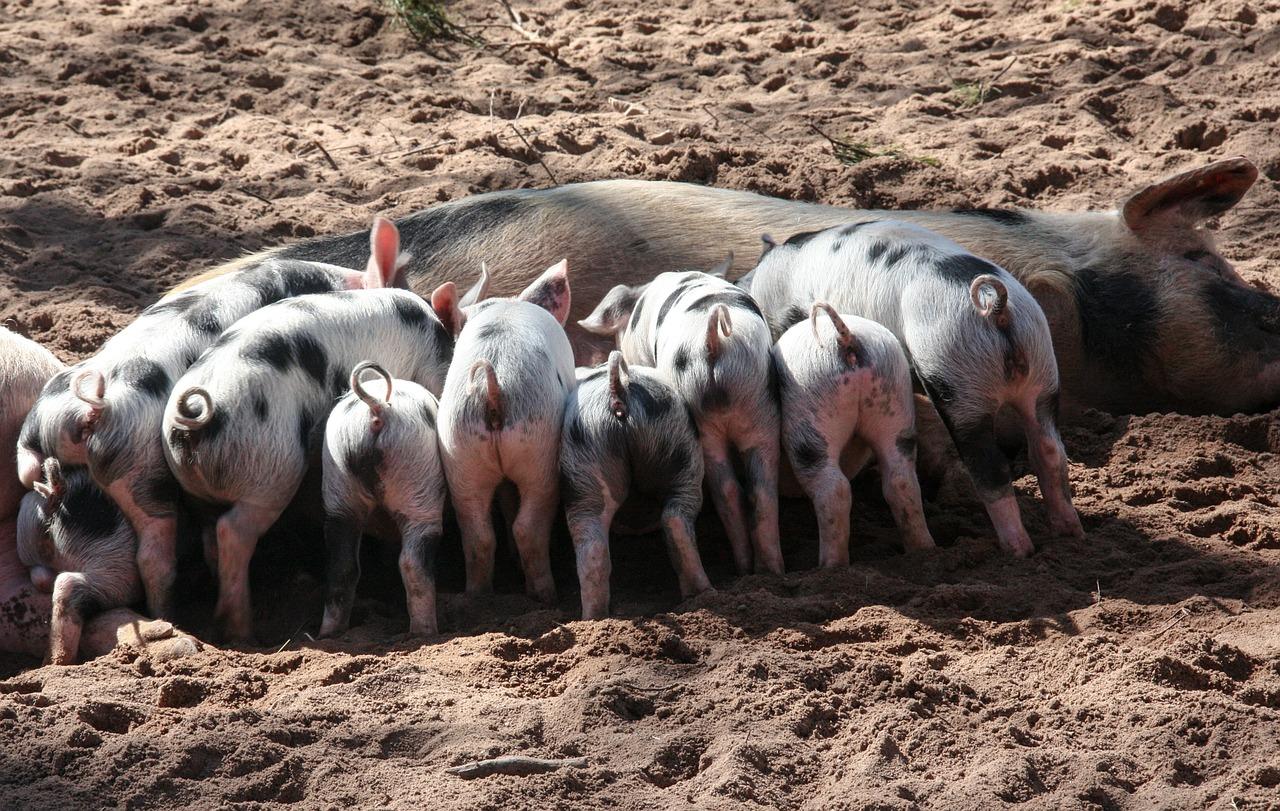 Brucellose beim Schwein – erhöhte Gefahr in der Freilandhaltung