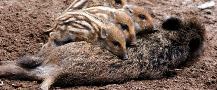 Afrikanische Schweinepest – Anzeigepflichtige Tierseuche