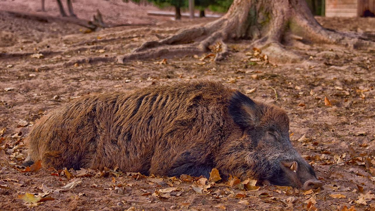Afrikanische Schweinepest – Symptome, Übertragung und Biosicherheit