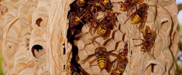 Fachgerechte Hornissenumsiedlung und Wespenberatung