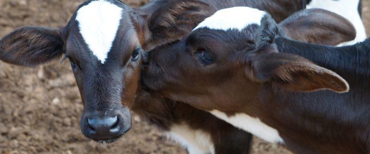 Kostenlose Online-Schulung zur Kälbergesundheit der Tierklinik für Fortpflanzung der FU Berlin