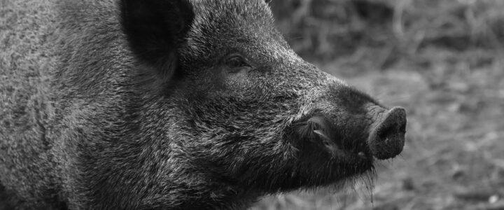 Die Afrikanische Schweinepest hat Deutschland erreicht