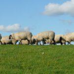 Schafbetriebe mit Leberegel-Infektion gesucht!